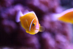 Orange skunk clownfish called Amphiprion perideraion Royalty Free Stock Photo