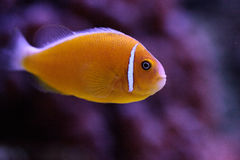 Orange skunk clownfish called Amphiprion perideraion Stock Images