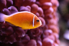 Orange skunk clownfish called Amphiprion perideraion. Is a species of anemonefish found in Australia stock photos