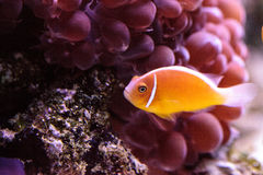 Orange skunk clownfish called Amphiprion perideraion. Is a species of anemonefish found in Australia stock images