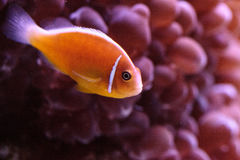 Orange skunk clownfish called Amphiprion perideraion. Is a species of anemonefish found in Australia royalty free stock images