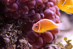 Orange skunk clownfish called Amphiprion perideraion. Is a species of anemonefish found in Australia stock photography
