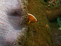 Orange skunk clownfish 02. Orange skunk clownfish sheltering in a Mertens' carpet sea anemone, Menjangan Island, Bali stock photos