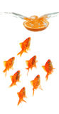 Orange slice dropping into water with goldfish Royalty Free Stock Photography