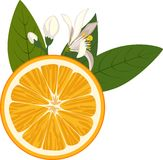 Orange slice with flowers and green leaves on white background Royalty Free Stock Photography