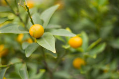 Orange. Smail orange tree and green Royalty Free Stock Images