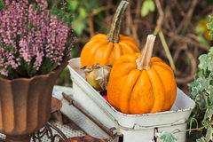 Orange small pumpkin  in box on table Royalty Free Stock Photo