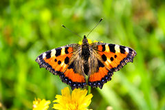 Orange small Tortoiseshell butterfly on a spring green meadow Stock Photos
