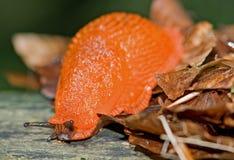orange snail Fotografering för Bildbyråer