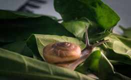 Orange snail on green leaf Royalty Free Stock Photography