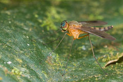 An orange snipe fly Chrysopilus Stock Photo