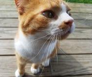 Orange Snuggler. Orange and white kitty royalty free stock photography