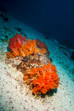 Orange soft coral in Derawan, Kalimantan, Indonesia underwater photo Royalty Free Stock Images