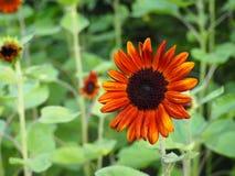 Orange solblomma Royaltyfri Fotografi