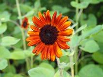 Orange solblomma Fotografering för Bildbyråer