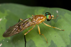 An orange soldier fly Stock Images