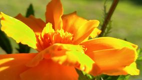 Orange Sommerblume Lizenzfreie Stockbilder