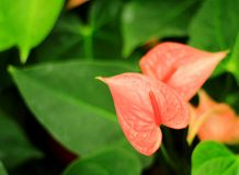 Orange spadix Stock Image