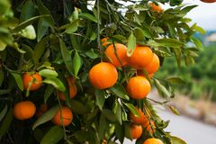 orange spain tree Royaltyfri Foto