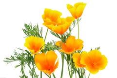 orange spark för blomma Arkivfoton