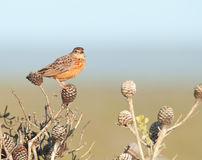 Orange speckeled Vogel auf Kegel Lizenzfreie Stockfotos