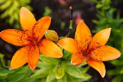 Orange speckled lilies royalty free stock photos