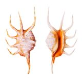 Orange Spider Conch Stock Photo