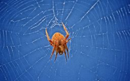 Spider web. Orange spider entangled in his intricate web against a blue sky Stock Images