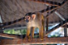Orange spider monkey Stock Photography