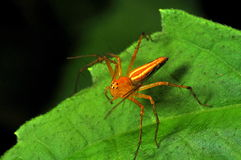 Orange spider. The orange spider stands alone on the green leaf Stock Photo