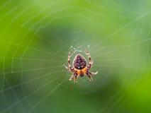 Orange Spider in The Web Stock Photo