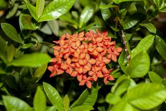 Orange spike flower in group leaf on nature at thailand. Red, background, ixora, beautiful, garden, tropical, bouquet, flowers, coccinea, natural, white stock image