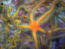 Orange Spiny Brittle Star. Found off of central California's Channel Islands stock photo