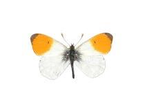 Orange Spitze (Anthocharis cardamines) lizenzfreie stockfotografie