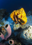 Orange Sponge and Branching Tube Sponges stock images