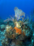 Orange Sponge growing on a Cayman Island Reef. With Sea Fan in the Background Stock Photography