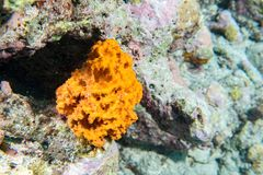 Orange sponge in the reef background while divinig Indonesia. Orange sponge in the reef background Raja Ampat Papua, Indonesia Royalty Free Stock Photography