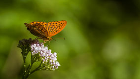 Orange Spotted Butterfly. Orange butterfly Argynnis paphia on white flower with green background stock photo