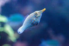 Free Orange Spotted Filefish Oxymonacanthus Longirostris Royalty Free Stock Photo - 100613935