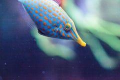 Free Orange Spotted Filefish Oxymonacanthus Longirostris Royalty Free Stock Images - 100614029