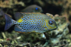 Orange spotted foxface rabbitfish Royalty Free Stock Photos