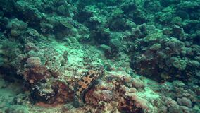 Orange-spotted grouper Epinephelus coioides in coral of Red sea Sudan. Shaab Rumi stock footage