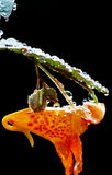 Orange Spotted Jewel Weed glistens with morning dew. Stock Photography