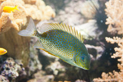 Orange spotted spinefoot - Siganus guttatus Royalty Free Stock Photo