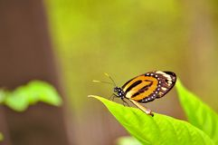 Orange-spotted Tiger Clearwing butterfly Royalty Free Stock Photography