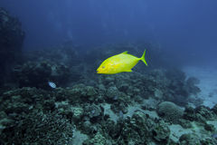 Orange Spotted Trevally Stock Photography