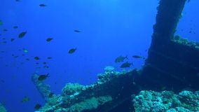 Orange-spotted trevally Carangoides bajad on Carnatic wreck in Red sea stock video