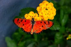 The orange spotted wing butterflies royalty free stock photo