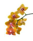 Orange spotty orchid isolated Stock Photography