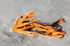 Orange Sprawling Sponge Covered in Sea Foam Royalty Free Stock Images